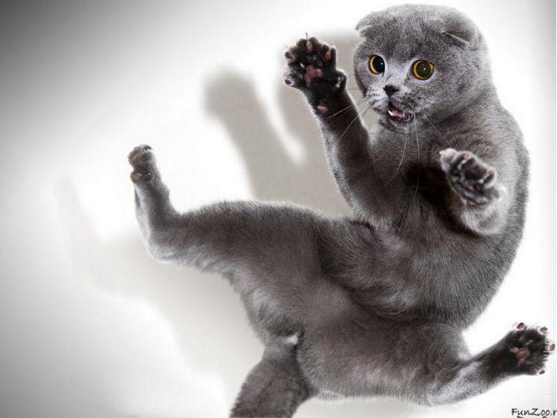 Удивленный британский кот в прыжке