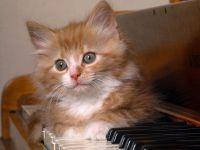 котята, Котики, Рыжий пушистый котенок на пианино., Обои Котик на рояле., картинки на...