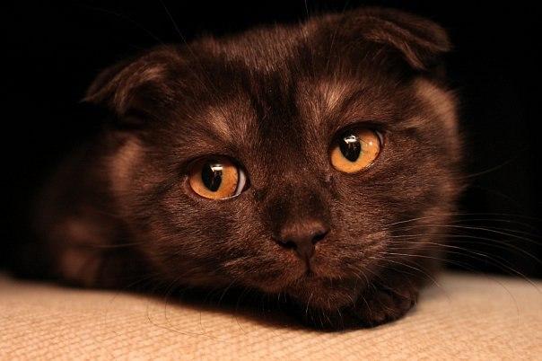 Кот шотландец шоколадный