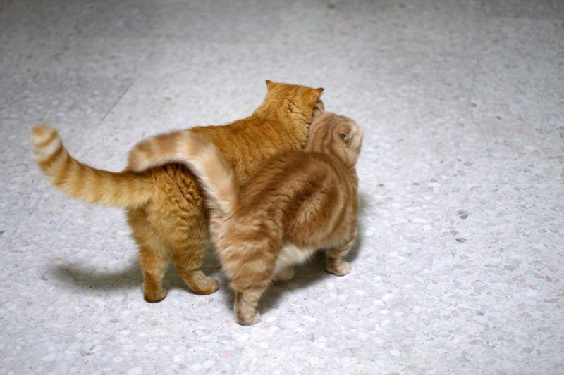 Коты идут рядом