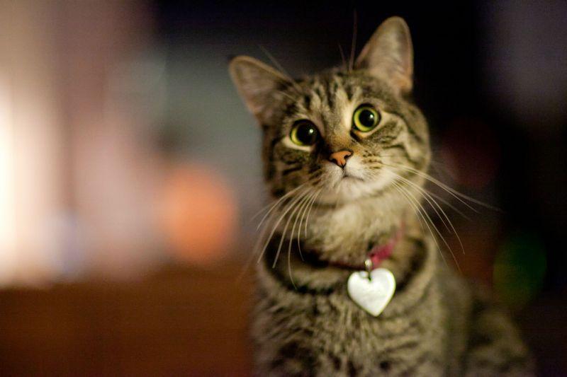 Ошейник для кота с медальоном