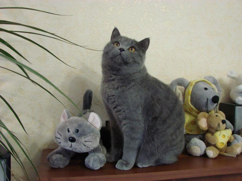 Британские котята игрушки своими руками 63