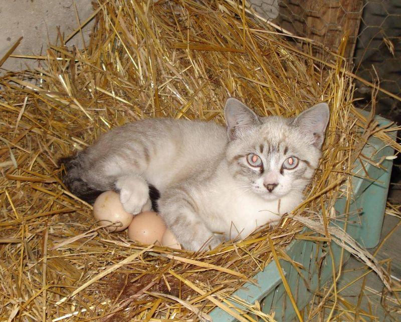 Куриное яйцо для кота