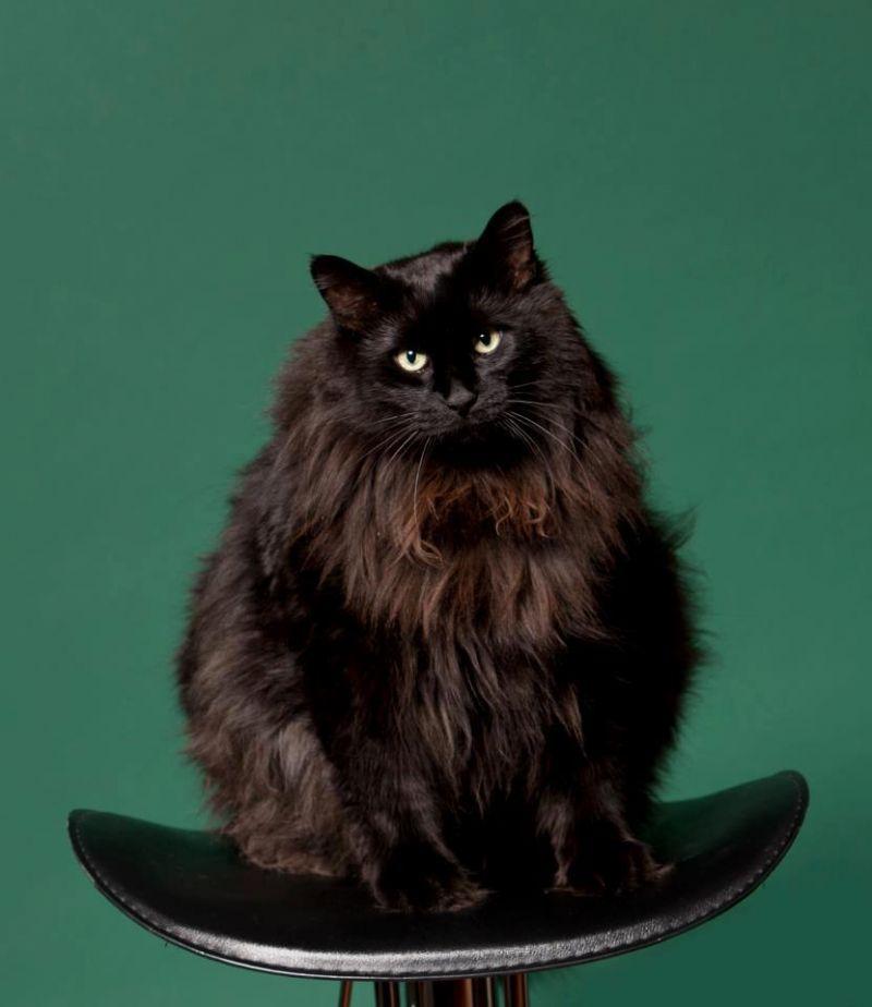 Сибирские чёрные коты фото