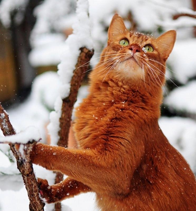 White Ginger Cat In Snow