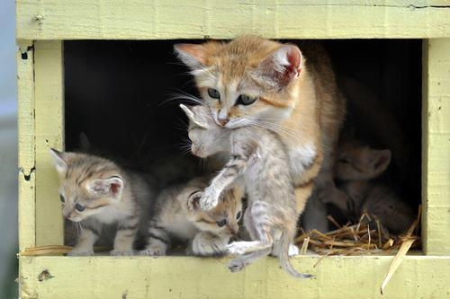 Картинки - Пустынная кошка с котятами
